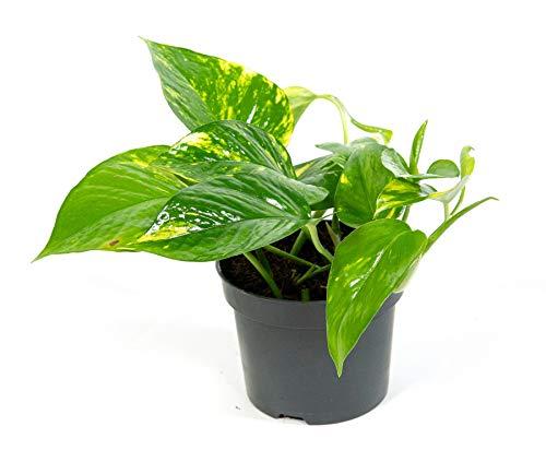Scindapsus aureum, Zimmerpflanze im 12cm Topf, Efeutute, Höhe ca.15cm