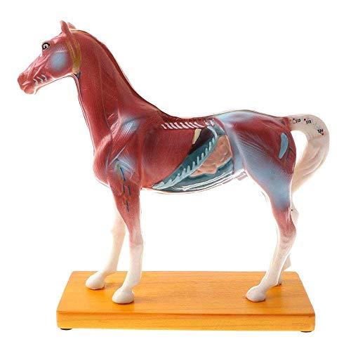Pädagogisches Modell Pferd Akupunktur Modell - Tier Anatomisches Modell Pferd Modell - Pferd Punkte Akupunktur Modell - Als Referenz verwendet