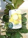 Una planta de limon-guaya, Psidium Lucidum, fruta sanitaria 110-125 cm