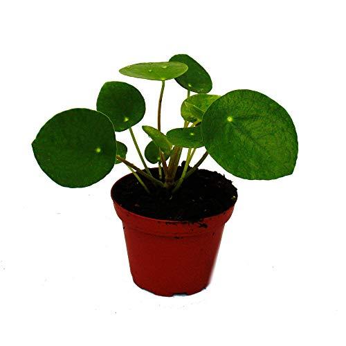 Exotenherz - Pilea peperomioides - Glückstaler - Chinesischer Geldbaum - Bauchnabelpflanze im 7cm Topf