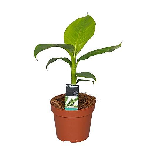 "Musa ""Basjoo"" | Bananenpflanze | Gartenbanane | Winterhart | Topf-Ø 15cm"