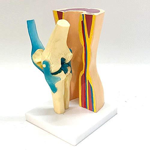 HYCy Anatomisches Modell des Knies Modell des menschlichen Kniemodells Skelettstruktur Anatomisches Modell Flexible Rotation in realer Größe für die Kommunikation zwischen Arzt und Patient