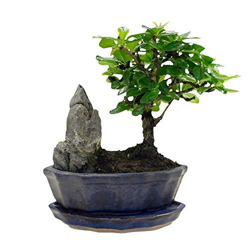 Carmona microphylla | Fukientee | Bonsai...