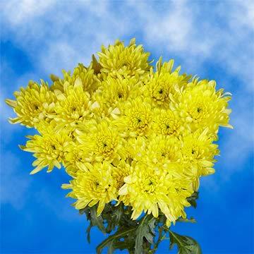 GlobalRose 36 Oklahoma City Mall Fresh Cut Al sold out. Yellow - Cushion F Flowers Chrysanthemum