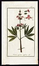 Antique Flora Print-VITEX-CHASTE TREE-ABRAHAM'S BALM-MONK'S PEPPER-Zorn-1796