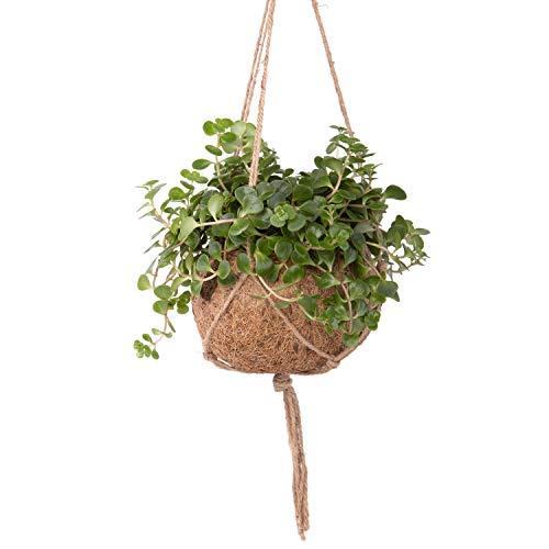 Sense of Home ZimmerpflanzeKokedama Sukkulente Sedum tornado - pflegeleichte Indoorpflanze im trendigen Moosball - Liefergröße ca. 20 - 25 cm