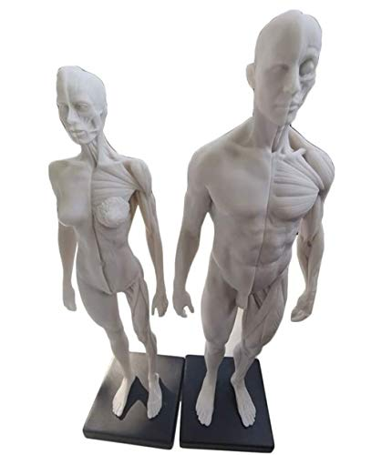 Male & Female Anatomy Figure - 30Cm Human Anatomy Abbildung Modell - Menschliche Muskel-Skelett-Anatomie Modell Skulptur Study Kit Anatomische Referenz für Künstler,A