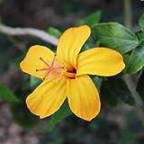 Semillas de la flor del hibisco, 200pcs / bolso Semillas de flor de hibisco Plantas Planta fácil multicolor prolífico Bonsai Garden Semillas para Home