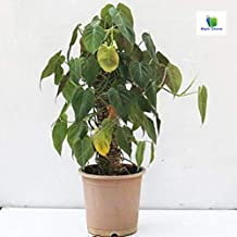 Mphmi Philodendron melanochrysum, Black Gold Philodendron - Plant