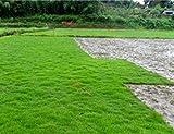 ASTONISH GRAINES D'ASTONIE: 500pcs Kor graines de gazon (Zoysia Tenuifolia) Evergreen Lawn Graines j693