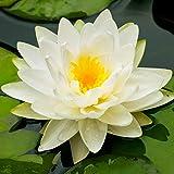 Nymphaea'Marliacea Albida' | Wasserlilie | Weiße Blüte | Verhindert Algenwachstum | Höhe 30cm | Topf-Ø 9cm