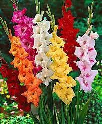 Big Promotion! Cut glaïeul Seeds Graines de fleurs vivaces Plantes en pot intérieur aérobies glaïeul Fleurs, 100 graines / lot, # A0UXYQ