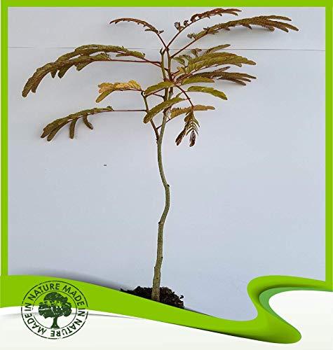 Albizia julibrissin rosea (Seidenbaum) - Pflanze