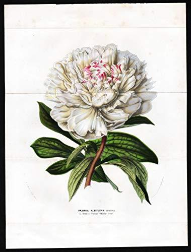 Paeonia Albiflora festiva. - white peony poenies Pfingstrose Botanik Botanical Botany antique print