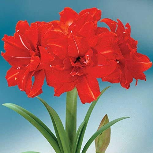 2Pcs Red Peacock Amaryllis Bulb, Great for Winter Forcing! Unique Gift for The Gardening Lover in Your Life!