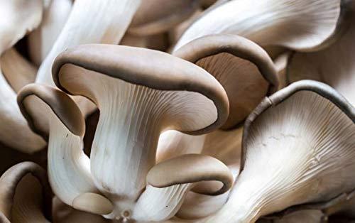 Mycélium de Pleurote Kit de culture champignons 15ml/50 ml (Tube, 50ml)