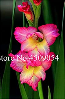 Ponak New 200 Pcs Gladiolus Flower Seeds for Beautiful Gardening Soft Pink Yellow