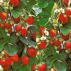 Klettererdbeere Fragaria x ananassa 6 Pflanzen