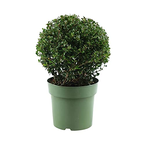 Ilex crenata Kugel | Japanische Stechpalme | Immergrüne Sträucher winterhart | Höhe 30-35 cm | Topf Ø 17 cm