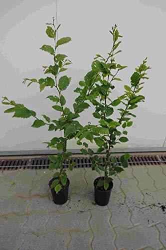 10st. Hainbuche 60-80cm Heckenpflanzen Carpinus betulus Hecke Weißbuche Gartenhecke Hainbuchen