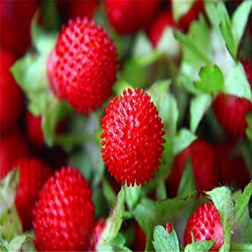 Potseed Semi di Frutta Fruit Red Giant Il Serpente Blackberry Semi deliziosi lamponi Decorazione del Giardino della pianta 20pcs