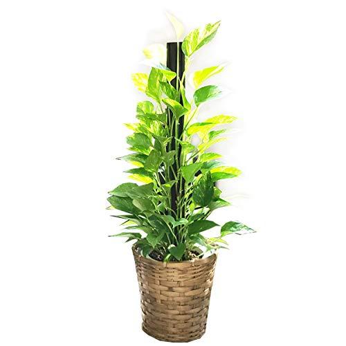 ポトス ヘゴ仕立て 観葉植物 本物 鉢カバー付 育てやすく丈夫 インテリア