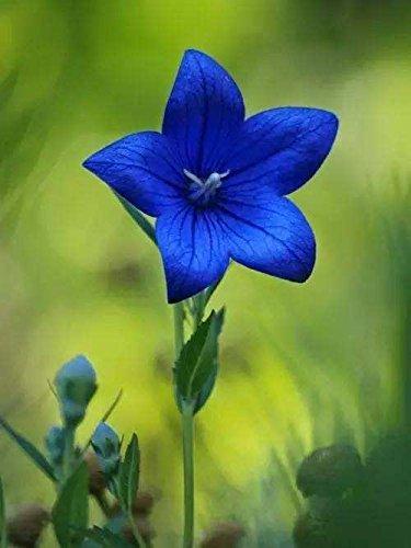 200pcs rares graines blanches Eustoma vivaces plantes à fleurs Balcon fleurs en pot Graines lisianthus pour planteur de pot de fleurs 8