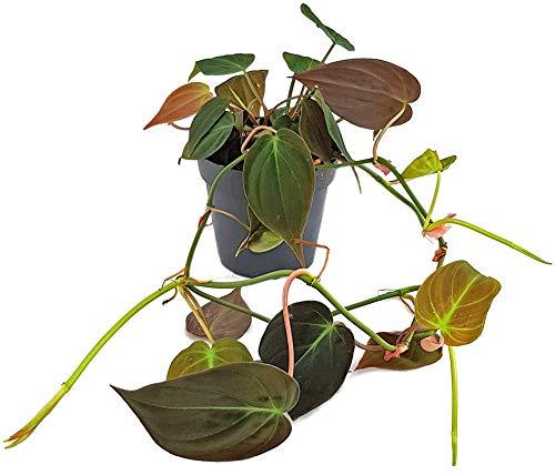 Fangblatt - Philodendron scandens Micans - samtiger Baumfreund - außergewöhnliche Zimmerpflanze - Sammlerpflanze