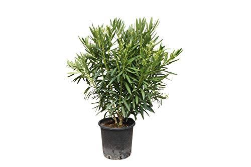 Oleander - farbe weiß - 140cm - Nerium Oleander