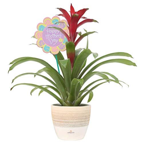 Costa Farms Flowering Bromeliad, Guzmania, Red, in Premium Scheurich Ceramic, 20-Inches Tall