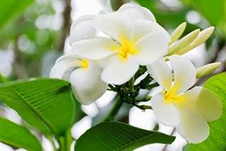 Tahitian Tiare Flower Premium Fragrance Oil, 4 Oz. Bottle