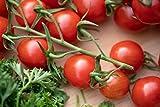 Tomato Plants - Tumbling Tom 'Red' - 6 x Plug Plants