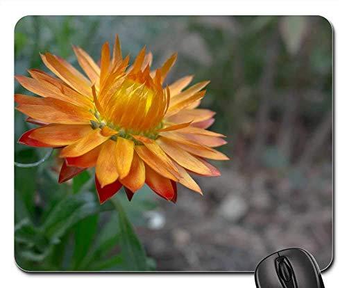 25X30cm Maus Matte Maus Pad - Italicum Blumen Natur Italienische Immortelle Pflanze