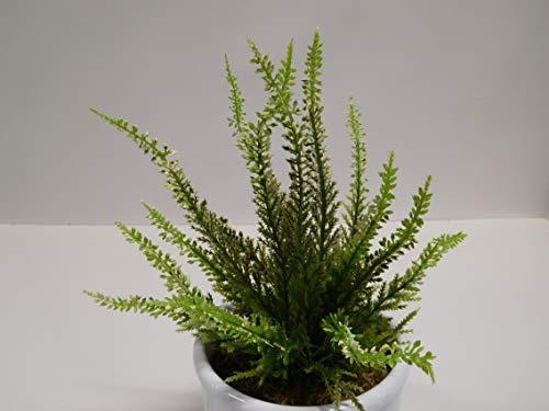 Ziegler Erika Heidekraut Calluna Kunstpflanze H 20 cm weiß Creme ungetopft 51023-0 F22