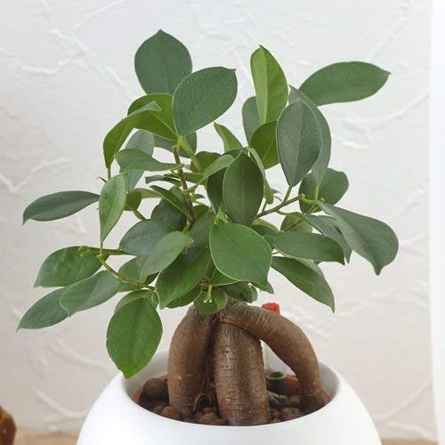 日比谷花壇『お手入れかんたん観葉植物「人参ガジュマル(ホワイト)」』