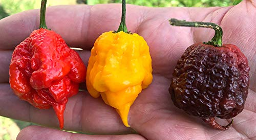 30 Graines Pures De Carolina Reaper Chili Pepper En 3 Variant Color