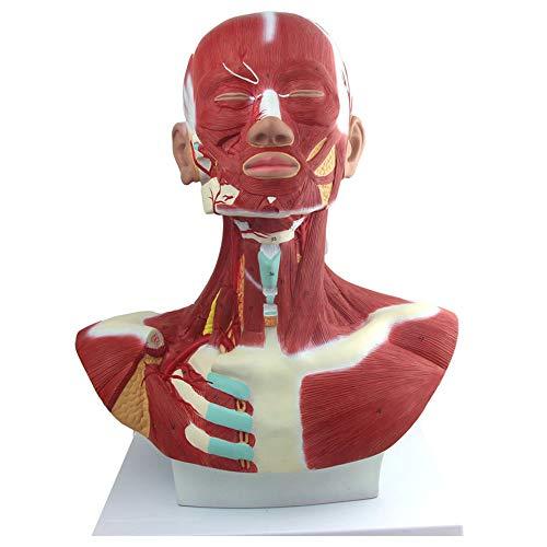 N \ A Menschliche Kopf- Und Halsmuskeln Anatomisches Modell Kopf- Und Halsmuskeln Anatomie Für Medizinisches Lehrmittel Spielzeug
