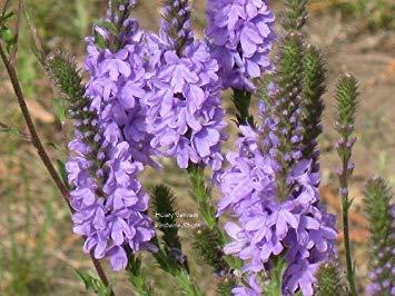 VISTARIC Seedville 500 Violet Hardy Moss Verbena Verveine tenuisecta Graines de fleurs