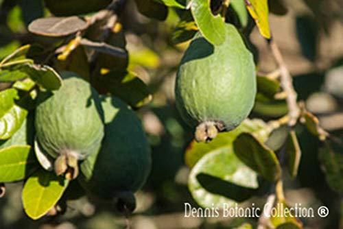 Pianta di Feijoa (varietà TRIUMPH) - Acca Sellowiana