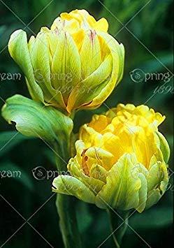 VISTARIC 3: Fruit Graine Corossol Graviola Annona semences multi-couleurs Annona Graine bricolage jardin Plante en pot croissance naturelle 3 Pcs 3