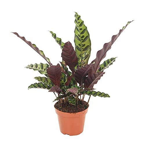 Zimmerpflanze von Botanicly –...
