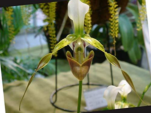 FERRY Bio-Saatgut Nicht nur Pflanzen: Paphiopedilum_DIANTHUM_un Spezies Frauenschuh-Orchideen-Zone
