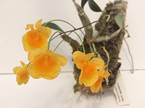 1 blühfähige Orchidee der Sorte: Dendrobium aggregatum, traumhafte Orchidee vom deutschen Züchter