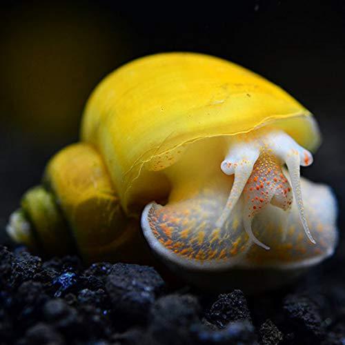 Imperial Tropicals (5) Gold Mystery Snails Aquarium Algae Eaters