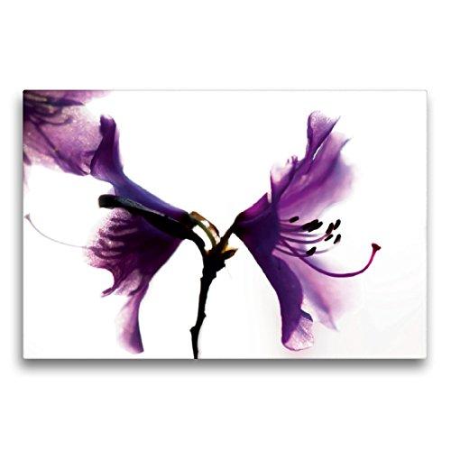 Premium Textil-Leinwand 75 x 50 cm Quer-Format Rhododendron 'Praecox'   Wandbild, HD-Bild auf Keilrahmen, Fertigbild auf hochwertigem Vlies, Leinwanddruck von Erwin Renken