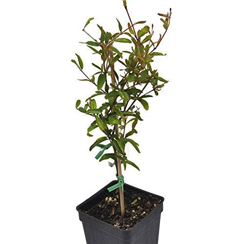 Punica granatum Nana, Dwarf Pomegranate Bonsai Tree, 3' (2.6x3.5')