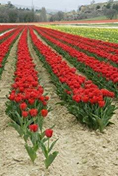 Wahre Tulpenzwiebeln, Vielzahl Frische Zwiebeln Tulpen, Blumenzwiebeln hochwertige Zwiebelwurzel Hausgartenpflanze (nicht Tulpensamen) - 2 Stk. 20
