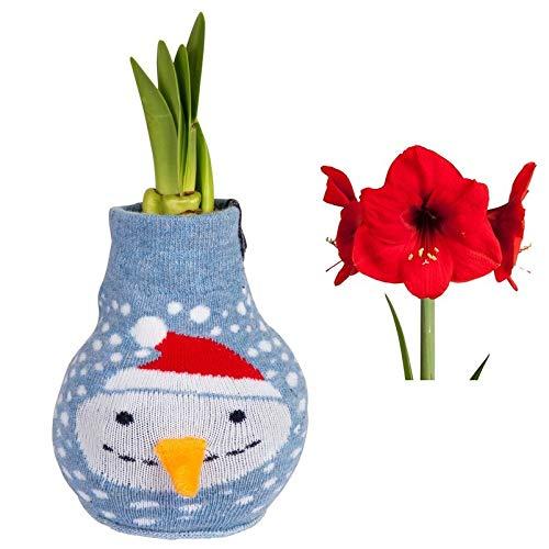 Pflanzen Kölle Gewachste XL-Amaryllis-Zwiebel, Weihnachtspullover mit Schneemann