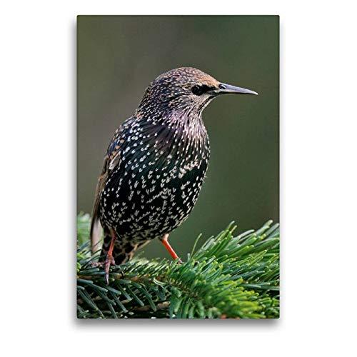 CALVENDO Premium Textil-Leinwand 50 cm x 75 cm hoch, Star | Wandbild, Bild auf Keilrahmen, Fertigbild auf echter Leinwand, Leinwanddruck: Vögel im heimischen Garten Tiere Tiere