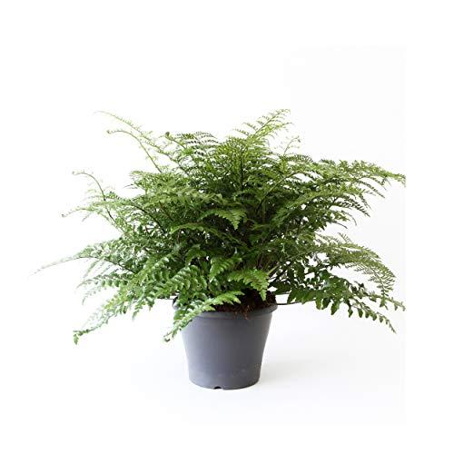 BOTANICLYZimmerpflanzeNestfarn in HydrokulturAsplenium antiquum